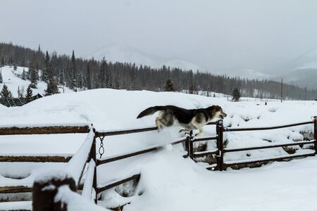 large dog: Large dog playing in the snow Stock Photo