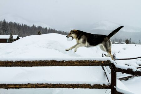 Dog retrieving snowball in falling snow photo
