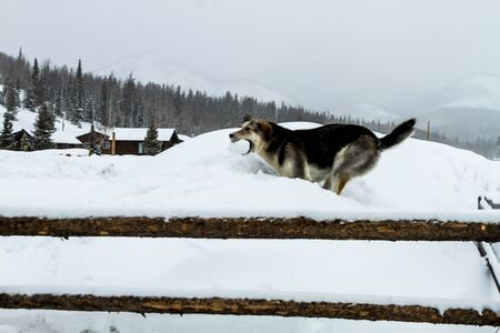 Large dog playing fetch with snow ball in the falling snow photo