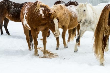 freshly fallen snow: Herd of horses eating feed in the falling snow