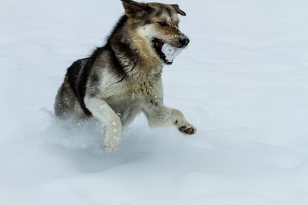 Large dog running in snow, playing fetch with snowball photo