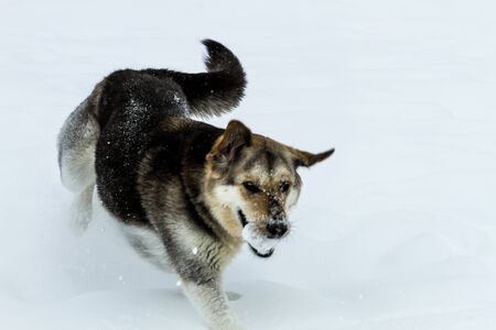 Young dog playing fetch with a snow ball in the falling snow photo