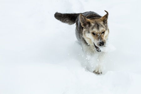 Dog running in snow with snowball in mouth photo