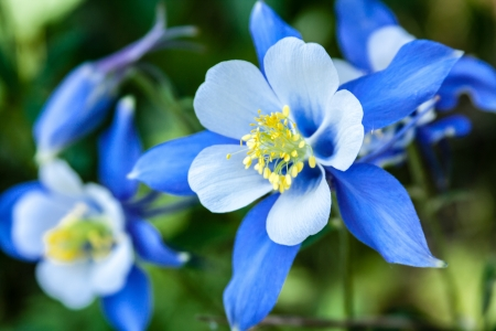 Close up of Blue Columbine wildflower growing on Aspen forest floor Stock Photo