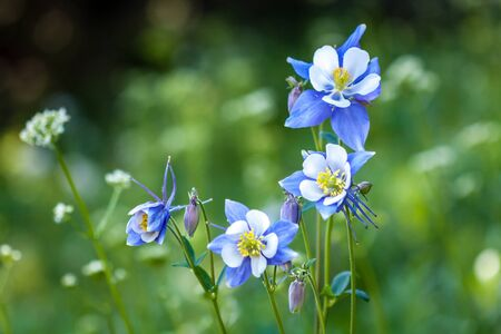 Bunch of Blue Columbine wildflowers growing in mountain meadow