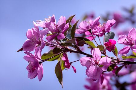 crabapple: Crabapple tree branch with pink blooms, blooming on sunny spring day
