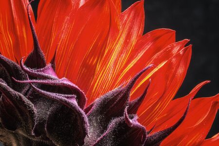 giant sunflower: Back side of a red sunflower blossom with dramatic lighting Stock Photo