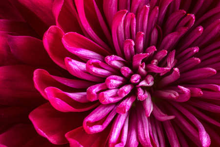Close up of the center of magenta pink Chrysanthemum with dramatic lighting Stock Photo - 18518796