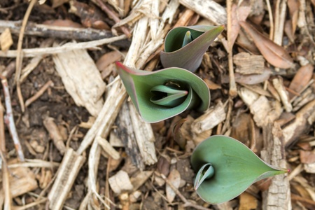 Tulips plants poking through the dirt in early spring Stock Photo - 18964250