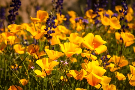 Field of Mexican Yellow Poppies and purple Lupine in the Sonoran Desert in Arizona Stock Photo - 18964253