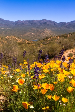 Mexican Yellow Poppies and purple Lupine growing in the desert near Bartlett Lake Arizona Stock Photo - 18964279
