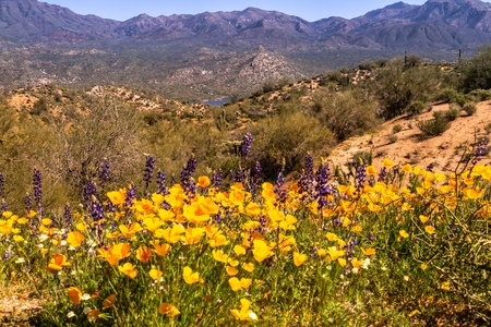 Mexican Yellow Poppies and purple Lupine growing in the desert near Bartlett Lake Arizona with Saguaro cactuses Stock Photo - 18964284