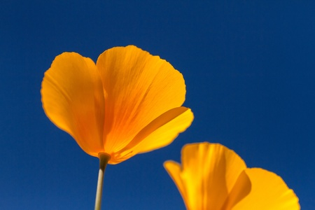 Mexican Yellow poppies blossoms from the bottom against a clear blue sky Stock Photo - 18964272