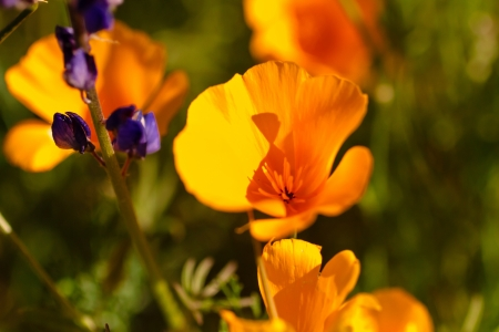 Mexican Yellow poppies blossoms close up Stock Photo - 18964252