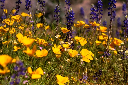 Field of Mexican Yellow Poppies and purple Lupine and other wildflowers in the Sonoran Desert in Arizona Stock Photo - 18964273