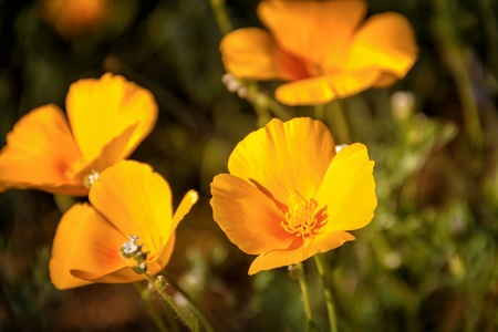 Close up of Mexican Yellow Poppies growing on the desert floor in Arizona Stock Photo - 18964254