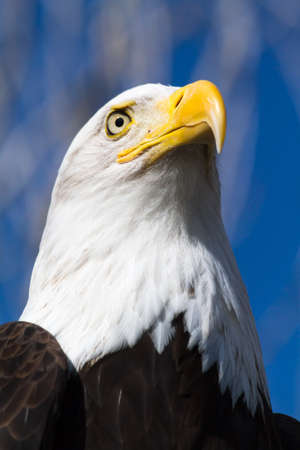 Close up of  the head of a Bald Eagle sitting in a tree photo