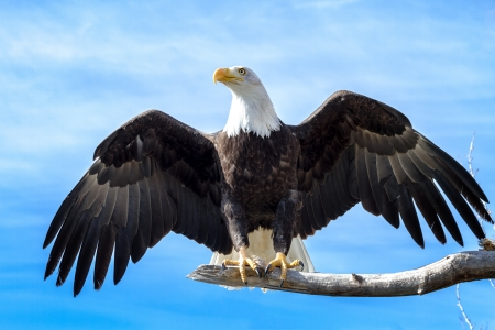 Bald Eagle landing on a large tree branch with wings extended