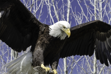 talons: Bald Eagle flapping it wings while perched on a tree branch