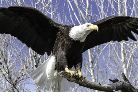 Bald Eagle landing on a tree branch