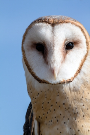 Close up of the face of a barn owl against blue sky Stock Photo
