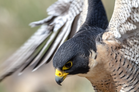 Close up of Peregrine Falcon as it lands on a tree branch