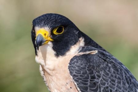 Close up of a Peregrine Falcon