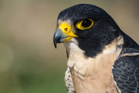 falco peregrinus: Profile of a Peregrine Falcon sitting on a tree branch