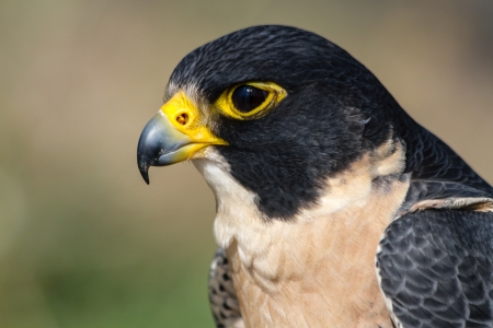 falco peregrinus: Profile of a Peregrine Falcon head sitting on a tree branch in the morning sun