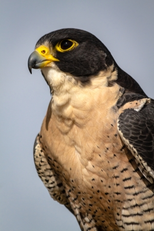 Profile of a Peregrine Falcon sitting on a tree branch in the morning sun