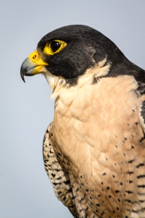 falco peregrinus: Close up profile of a Peregrine Falcon