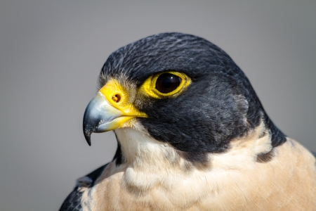 Close up of the head of a Peregrine Falcon Stock Photo