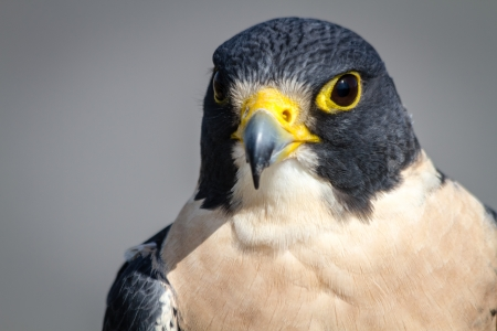 falco peregrinus: Stare of a Peregrine Falcon perched on a tree branch