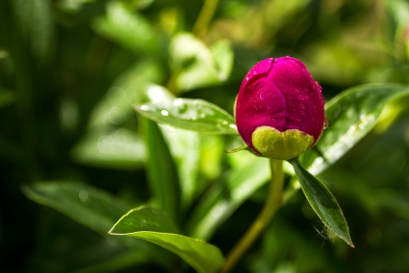 Magenta pink peony flower bud opening with heart shaped petal in sunlight
