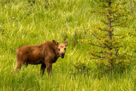 Moose calf standing in tall grass eating grass 版權商用圖片
