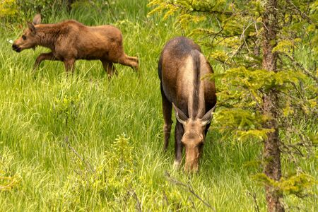 American moose calf and cow grazing in tall grass on sunny summer day photo
