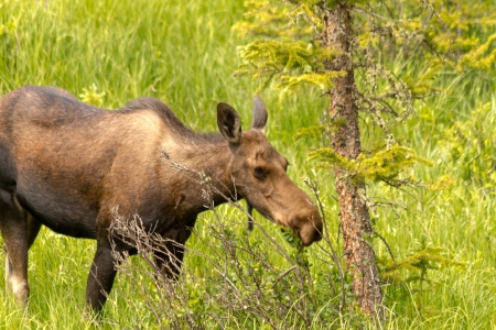 Female moose cow grazing on willows on sunny summer day photo
