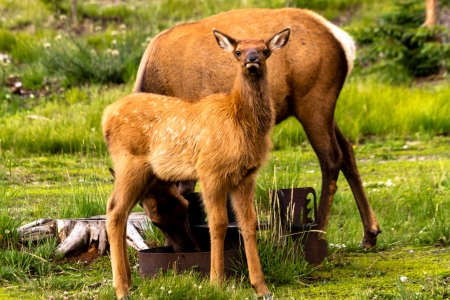 Small elk calf standing near mom in national park picnic area photo