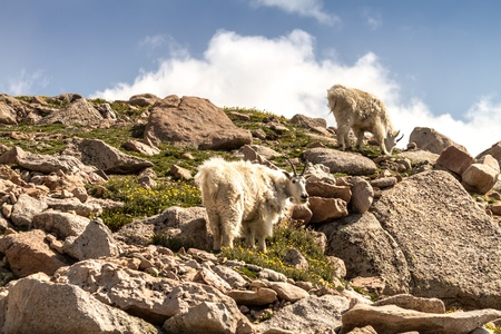 2 large rocky mountain goats standing on rocks at top of mountain photo