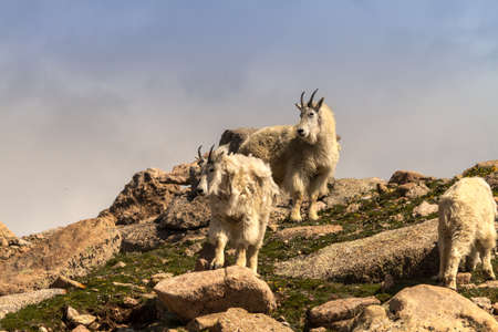 Large mountain goats standing on rocks on mountain top photo