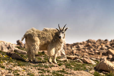 Rocky mountain goat standing on mountain top photo