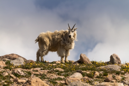 Large male mountain goat standing on rock ledge on mountain top on summer morning photo