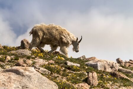 Large male mountain goat walking down mountain ledge on mountain top on summer morning photo