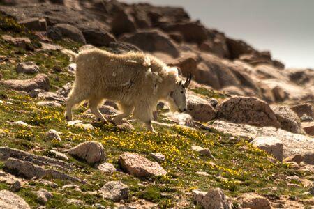 Large rocky mountain goats walking down a mountain meadow photo