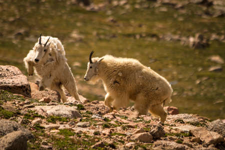 2 large rocky mountain goats running up rocks at top of mountain photo