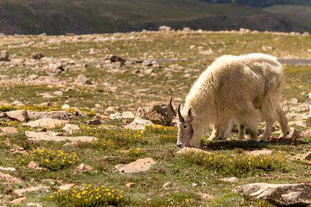 Large male rocky mountain goat grazing in mountain meadow on mountain top photo