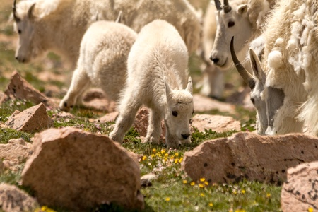 Small baby mountain goat grazing with the herd in high mountain meadow photo