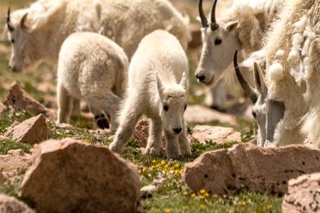 Small baby mountain goat grazing with mountain goat herd in high mountain meadow photo