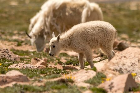 Mountain goat kid walking in high mountain meadow photo
