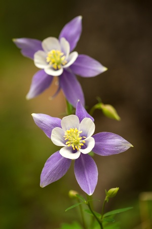 Close up of 2 blue columbines growing on the forest floor photo